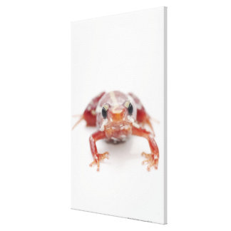 white-striped poison dart frog (epipedobates canvas print