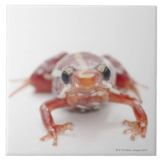 white-striped poison dart frog (epipedobates large square tile