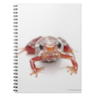 white-striped poison dart frog (epipedobates notebook