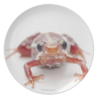 white-striped poison dart frog (epipedobates party plate