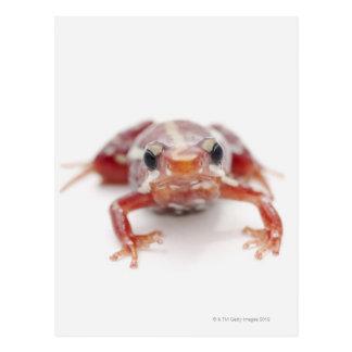 white-striped poison dart frog (epipedobates postcard