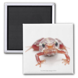 white-striped poison dart frog (epipedobates square magnet