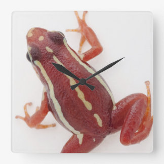 White-striped Poison Dart Frog Square Wall Clock
