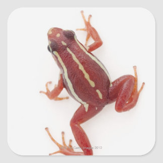 White-striped Poison Dart Frog Square Stickers