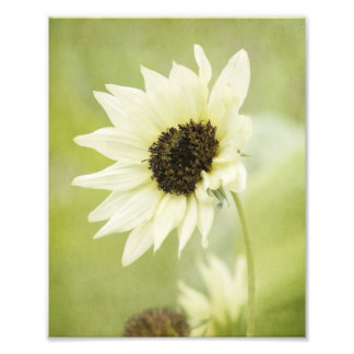 White Sunflower photo print