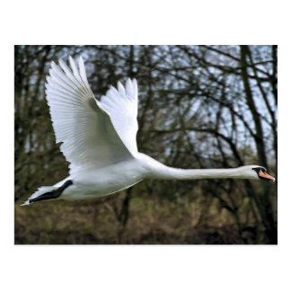 White Swan in Full Flight Postcard