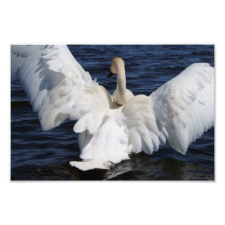 White Swan Photo Print