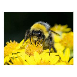 White-tailed Bumblebee Postcard