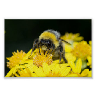 White-tailed Bumblebee Posters
