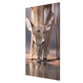 White tailed deer at waterhole canvas print