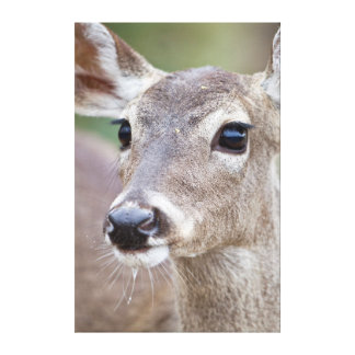 White-tailed Deer doe drinking water Canvas Print