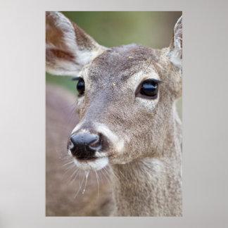 White-tailed Deer doe drinking water Poster
