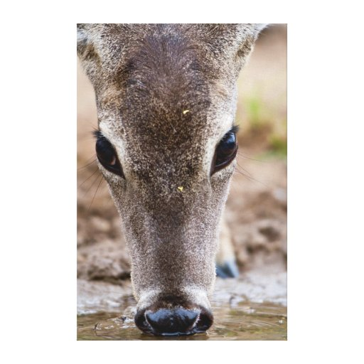 White-tailed Deer drinking water Stretched Canvas Print