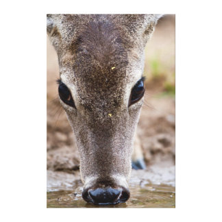 White-tailed Deer drinking water Canvas Print