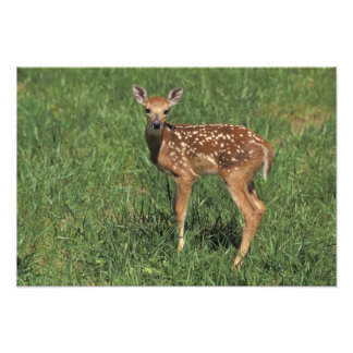 White-tailed deer fawn photo