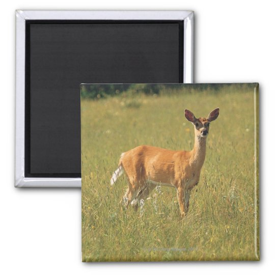 White tailed deer in Glacier National Park , Square Magnet