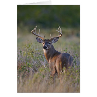 white-tailed deer Odocoileus virginianus) 2 Card