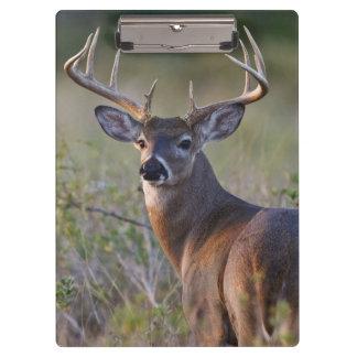 white-tailed deer Odocoileus virginianus) 2 Clipboard