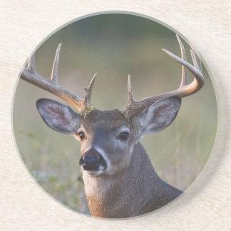 white-tailed deer Odocoileus virginianus) 2 Coaster
