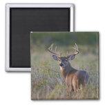 white-tailed deer Odocoileus virginianus) 2 Magnet