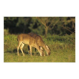 White-tailed Deer, Odocoileus virginianus, 2 Photo Art