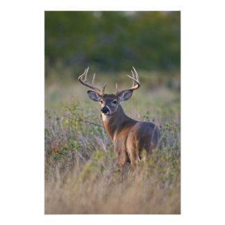 white-tailed deer Odocoileus virginianus) 2 Photographic Print