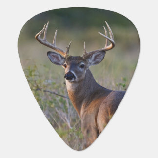 white-tailed deer Odocoileus virginianus) 2 Plectrum