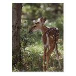 White-tailed Deer, Odocoileus virginianus, 2 Postcard