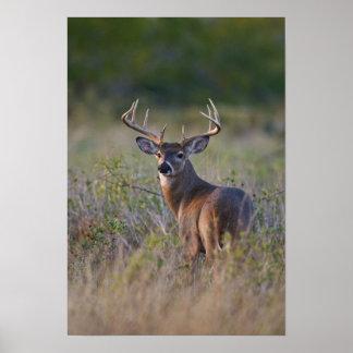 white-tailed deer Odocoileus virginianus) 2 Poster