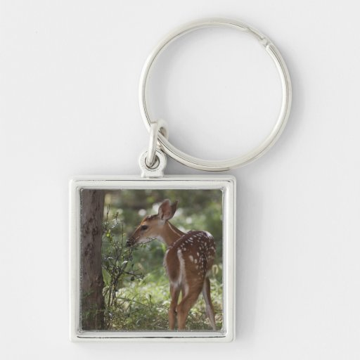 White-tailed Deer, Odocoileus virginianus, 2 Silver-Colored Square Key Ring