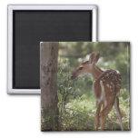 White-tailed Deer, Odocoileus virginianus, 2 Square Magnet
