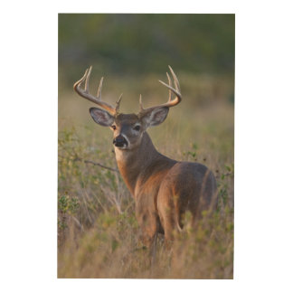white-tailed deer Odocoileus virginianus) 2 Wood Print