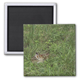 White-tailed Deer, Odocoileus virginianus, 3 Magnet