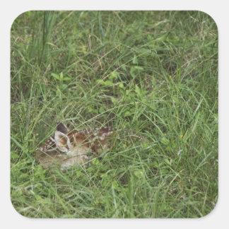 White-tailed Deer, Odocoileus virginianus, 3 Square Sticker