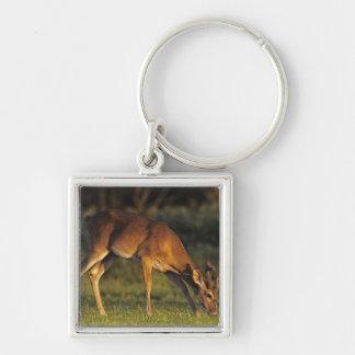 White-tailed Deer, Odocoileus virginianus, 4 Key Ring