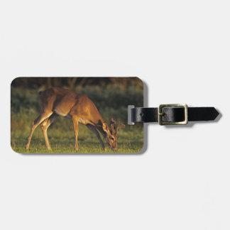 White-tailed Deer, Odocoileus virginianus, 4 Luggage Tag