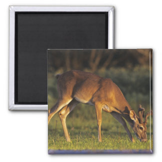 White-tailed Deer, Odocoileus virginianus, 4 Magnet