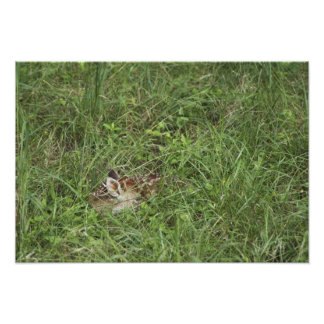 White-tailed Deer, Odocoileus virginianus, 4 Photo Print