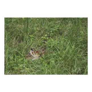 White-tailed Deer, Odocoileus virginianus, 4 Photographic Print
