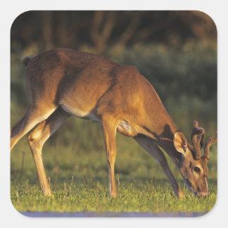White-tailed Deer, Odocoileus virginianus, 4 Square Sticker
