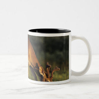 White-tailed Deer, Odocoileus virginianus, 4 Two-Tone Coffee Mug