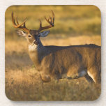 White-tailed Deer (Odocoileus virginianus) adult Drink Coasters