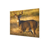 White-tailed Deer (Odocoileus virginianus) adult Gallery Wrap Canvas