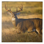 White-tailed Deer (Odocoileus virginianus) adult Large Square Tile