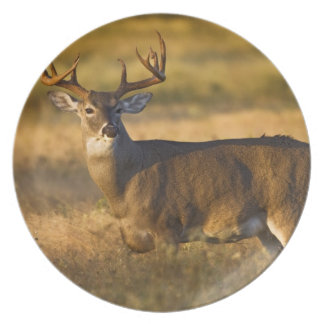 White-tailed Deer (Odocoileus virginianus) adult Plate