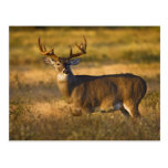 White-tailed Deer (Odocoileus virginianus) adult Postcard