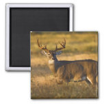 White-tailed Deer (Odocoileus virginianus) adult Square Magnet