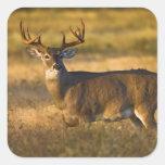 White-tailed Deer (Odocoileus virginianus) adult Square Sticker