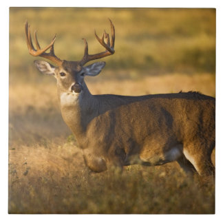 White-tailed Deer (Odocoileus virginianus) adult Tile