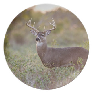white-tailed deer (Odocoileus virginianus) male 2 Plate